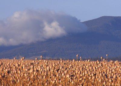 Opium-Poppy-Fields_Tasmania-Australia